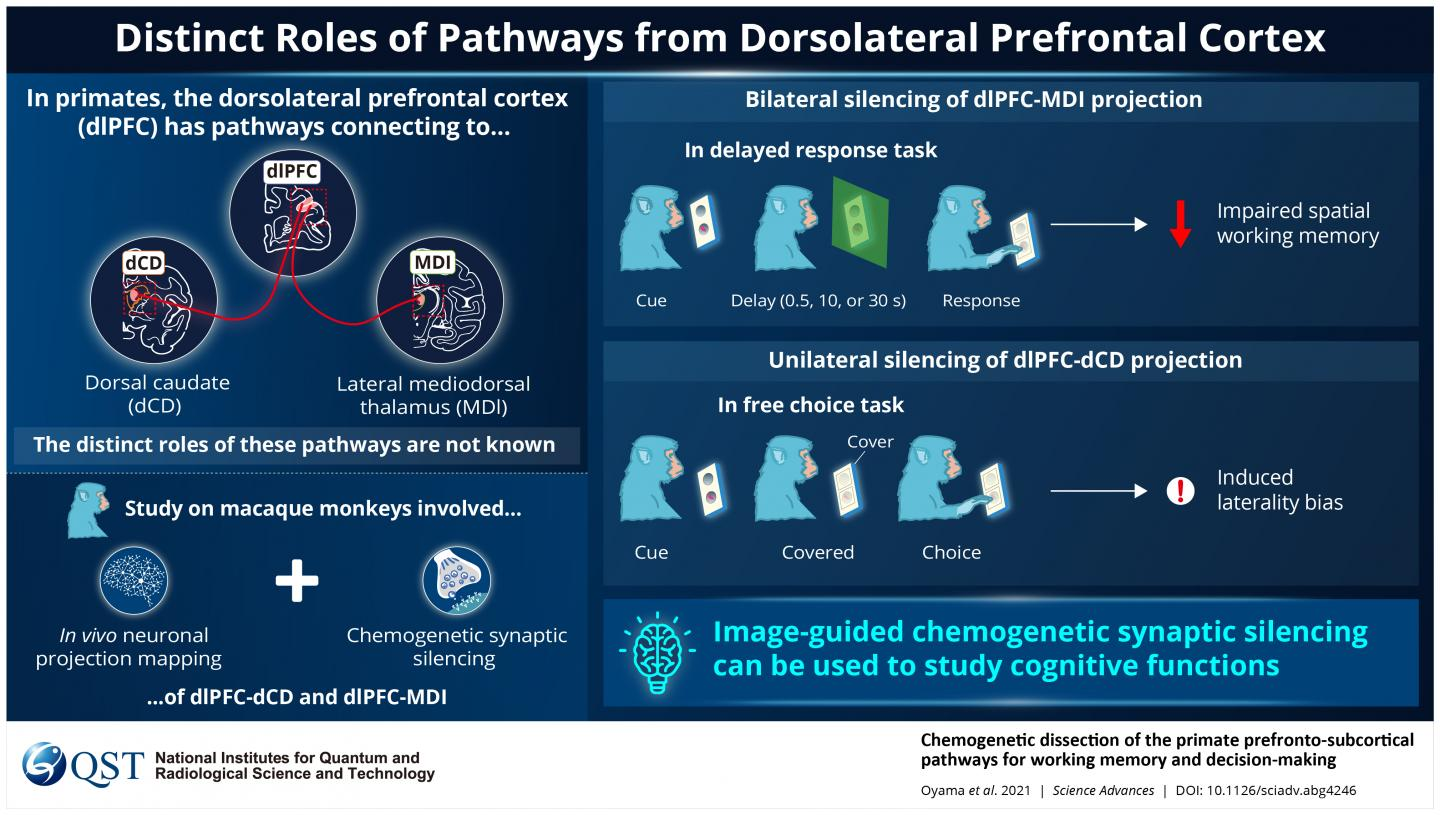 Distinct Roles of Pathways from Dorsolateral Prefrontal Cortex