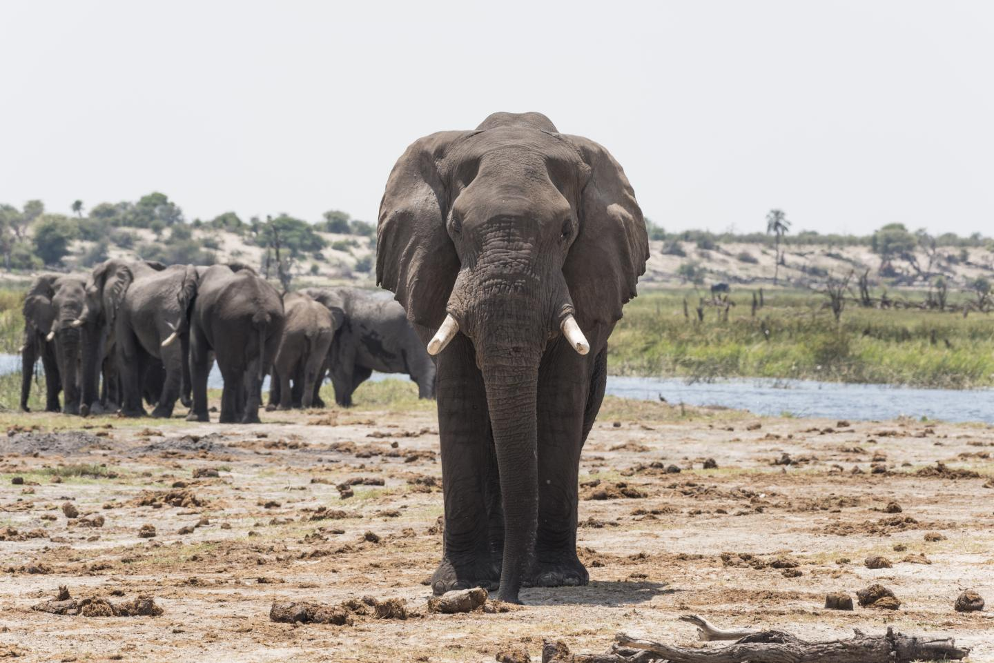 An elephant investigating dung with his trunk