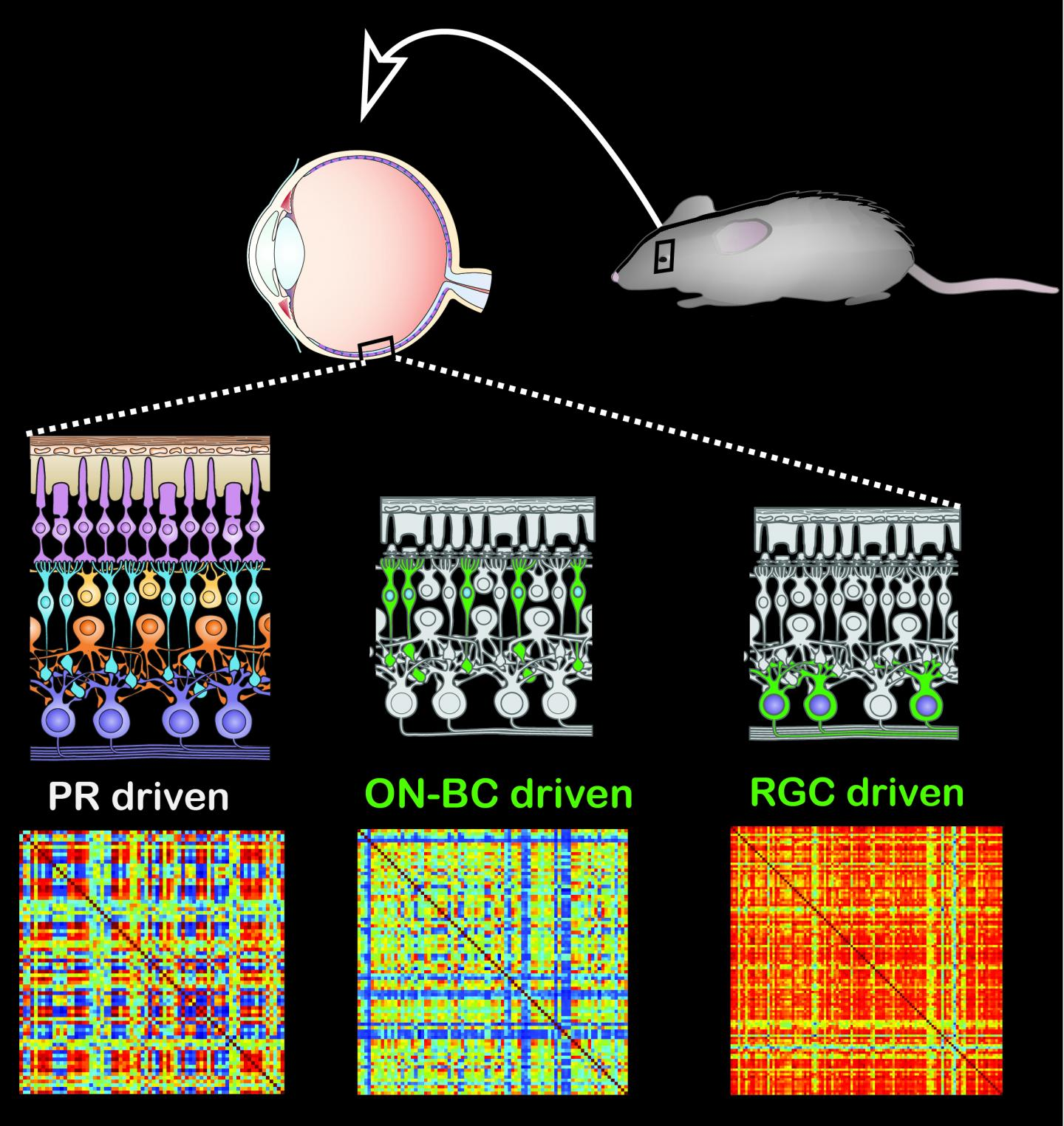 Light Response of Normal & Altered Mouse Retina
