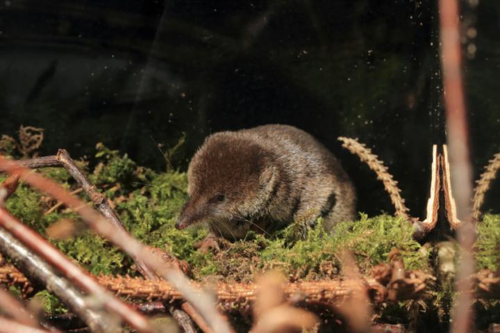 Shrewd survival strategy of shrews