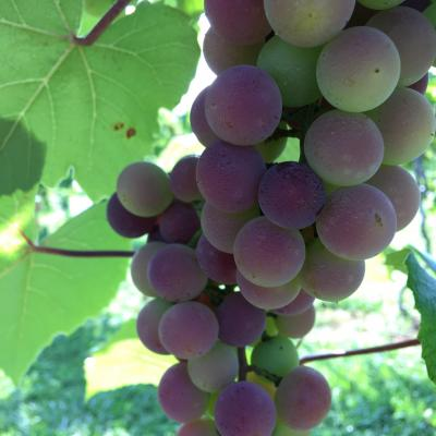 Ripening Tennessee-grown Concord Grapes