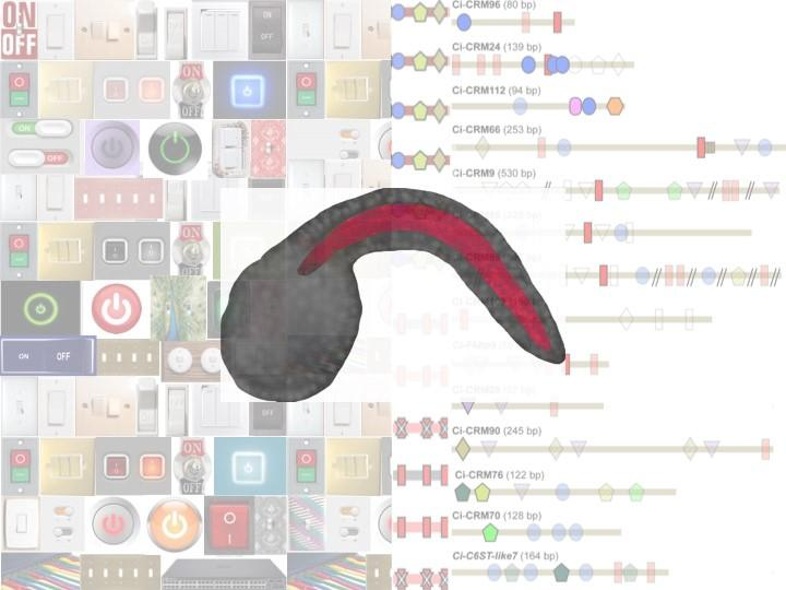 Molecular 'Switches' of Gene Expression in the Ciona Notochord