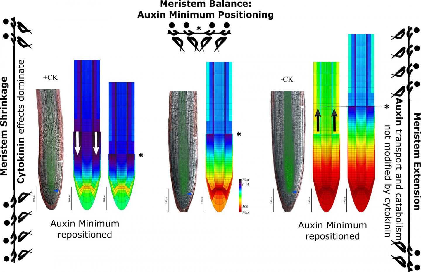 Auxin Minimum Triggers Switch from Division to Differentiation in Cells