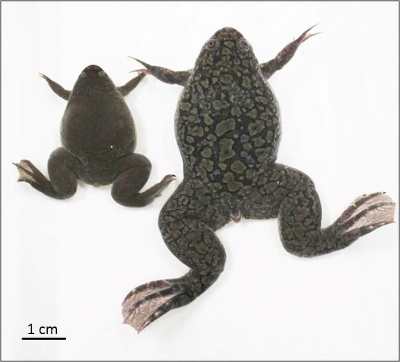 Figure 1: African Clawed Frog (right) and Western Clawed Frog