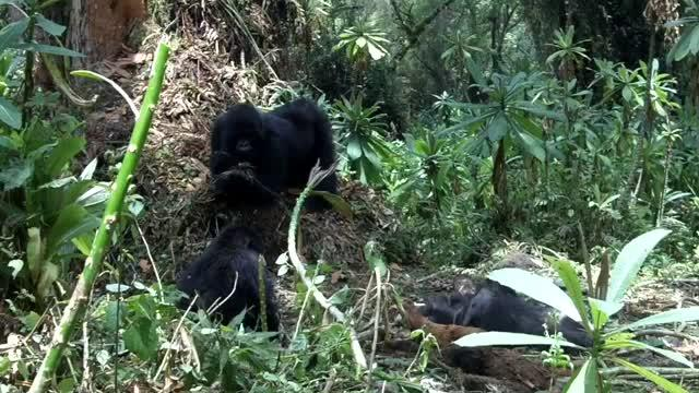 Juvenile Mountain Gorilla Grooms Body