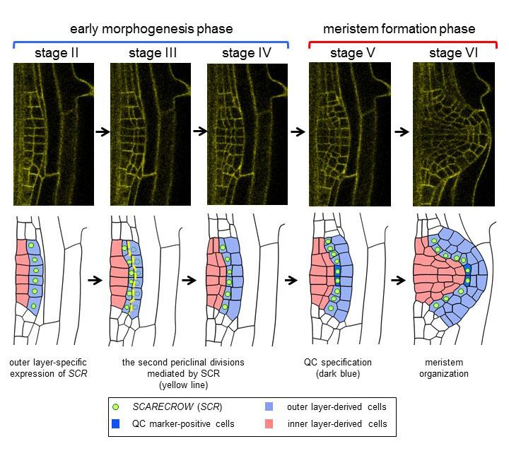 Formation Mechanism for the Meristem