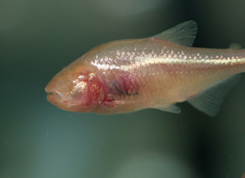 Cavefish (1 of 2)