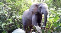 Forest Elephant 2 Duke