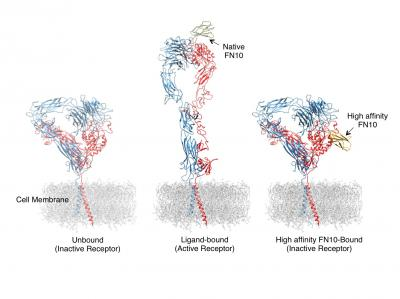High-affinity Ligand Prevents Inappropriate Integrin Activation