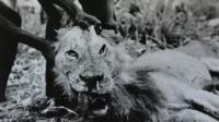 Man-Eating Lion Stuck With Porcupine Quill