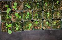 Digitalis lanata seedlings