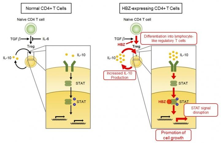 Disruption of cytokine signals by HTLV-1 bZIP factor (HBZ)