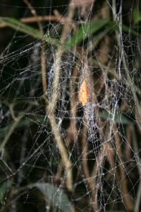 Cocoon Web of <em>Nephila clavipes</em> Attacked by <em>Hymenoepimecia bicolor</em>