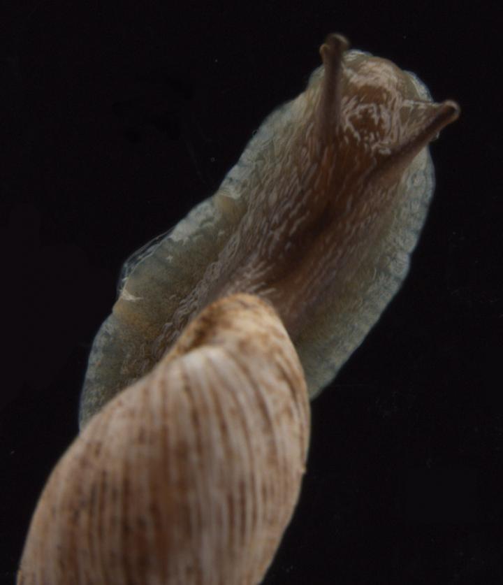 Living Land Snail
