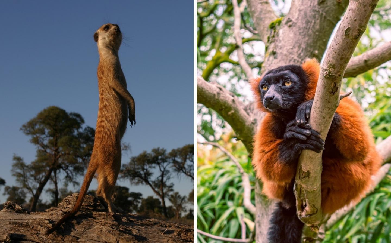 Meerkat / Red-Ruffed Lemur