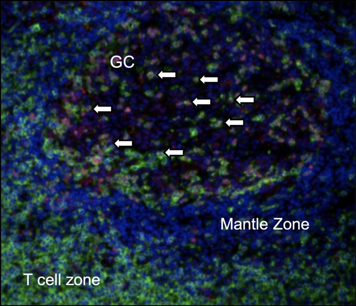 Tox2 is highly expressed in mature TFH cells.