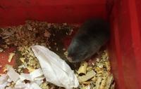 Highveld Mole-rat