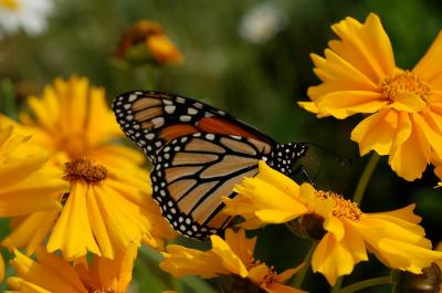 A Monarch Butterly (2 of 2)