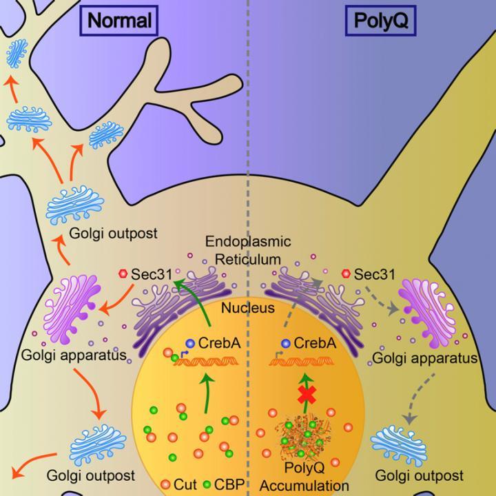 Degeneration of Dendritic-Specific Golgi Complex in the Brain Cells