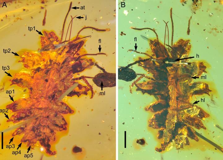 Lacewing Larva