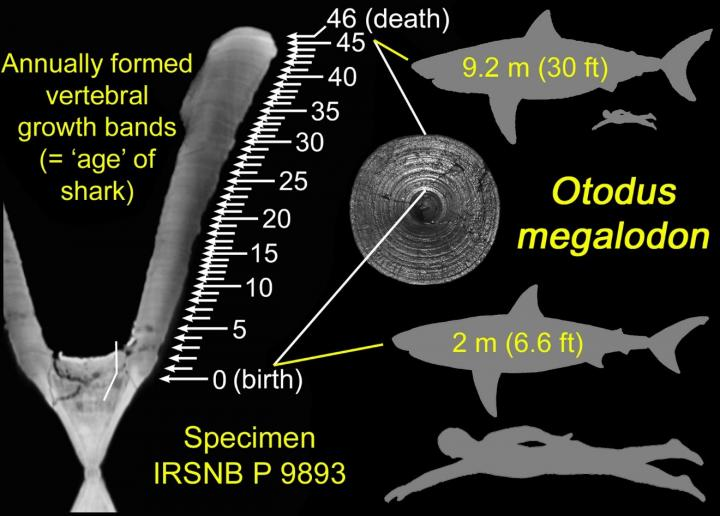 with hypothetical silhouettes of the shark at birth and death