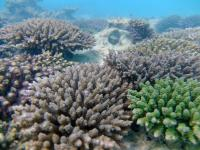 Acropora Tenuis is found around Okinawa