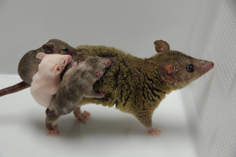 Genetically engineered opossums