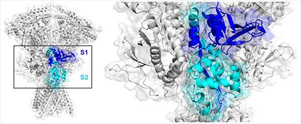 Agonist Binding Domain of NMDA Receptors