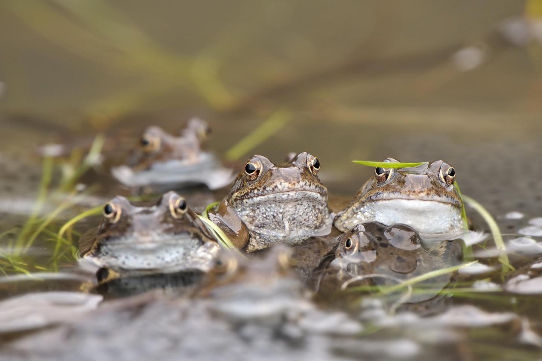 The common frog (<i>Rana temporaria</i>)