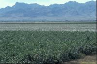 Bt Cotton Field in Arizona