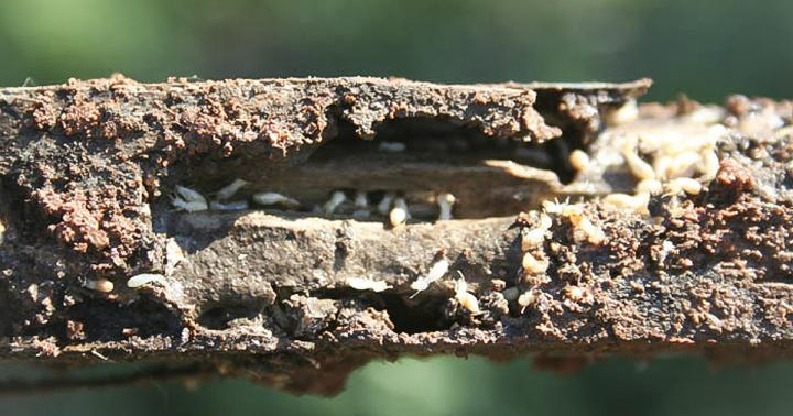 Termites in Stake