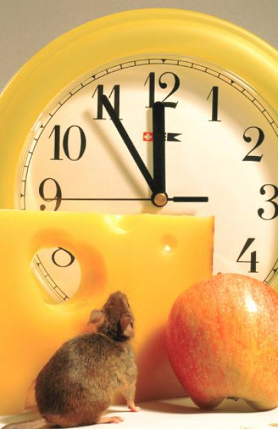 Food-anticipating Mouse and Clock