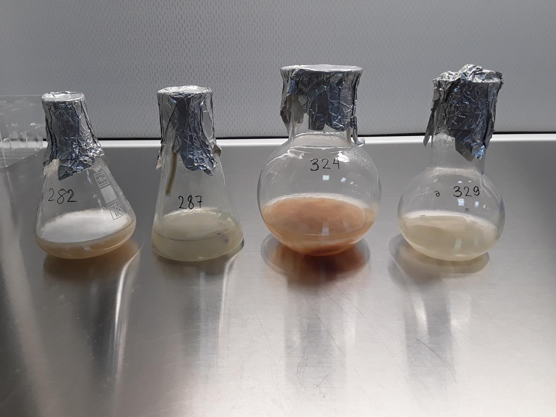 Cultures of different strains of the fungus Fusarium oxisporum f. sp. lini