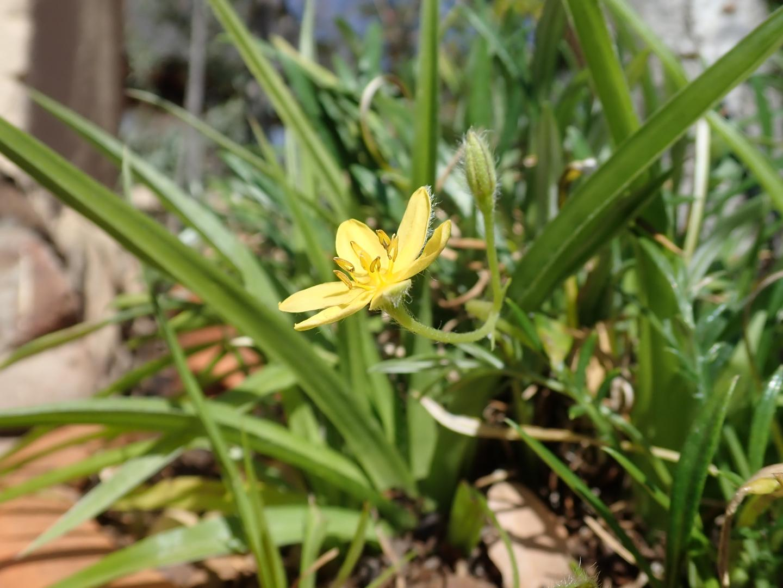 <em>Hypoxis angustifolia</em>