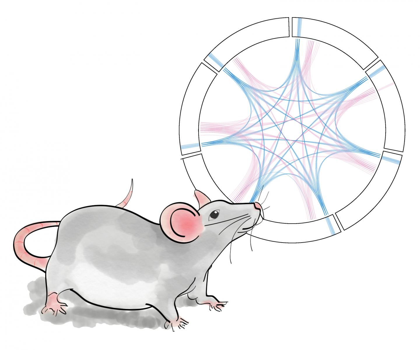 Mouse Brain Network