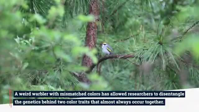 Mismatched warbler video