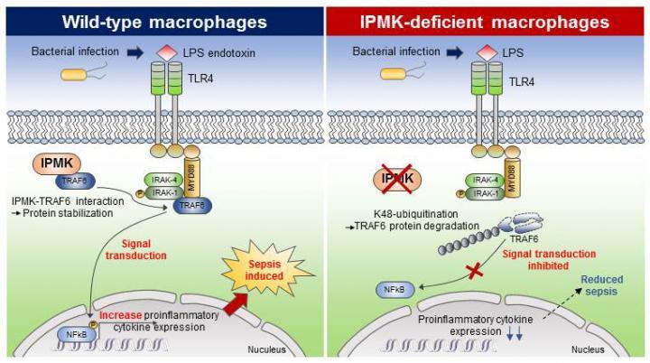 Figure Deletion of IPMK