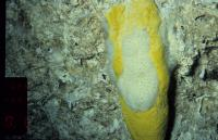 Deep-water Marine Sponge