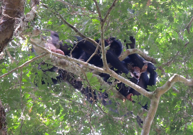 Bonobos With Their Prey