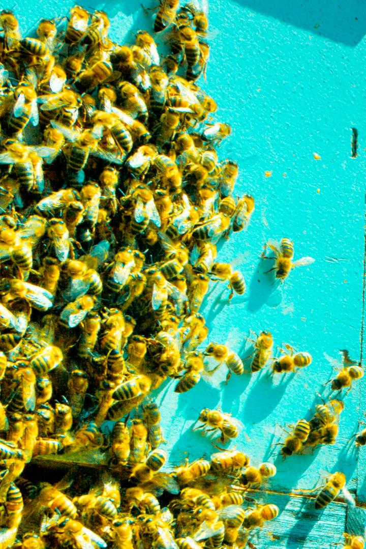 Bees: Needed