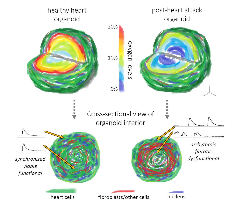 Cardiac Organoids