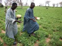 Farmers applying Aflasafe SN01 in a gro?undnut crop