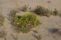 Natural Habitat of <i>Megachile chomskyi</i>