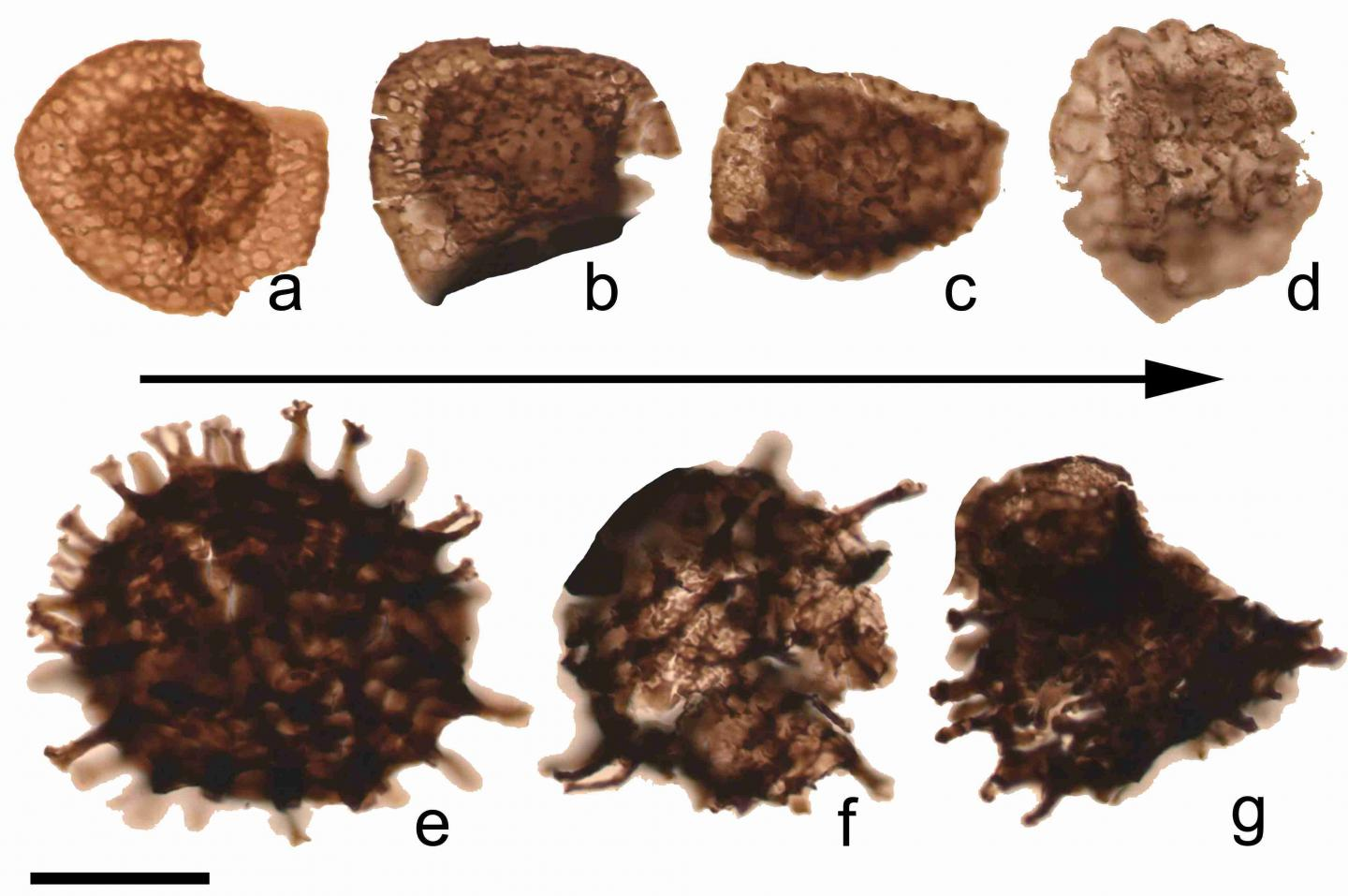 Fossil spores from the transitional layers between the Devonian and Carboniferous geological periods