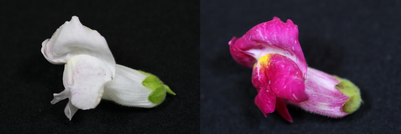 An <i>Antirrhinum</i> Line Exhibiting Different Petal Colors