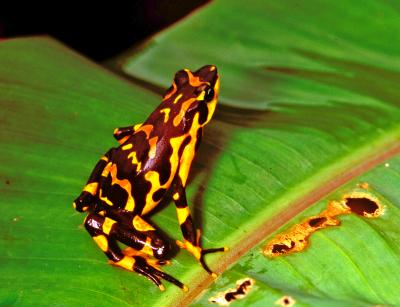 <i>Atelopus varius</i>, a Frog Species Presumed Extinct in Costa Rica but Later Rediscovered