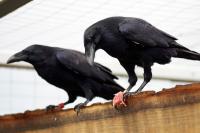 Raven (3/3)