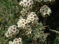 <I>Kunzea robusta</I>