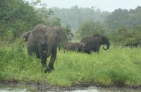 Forest Elephants in Gabon