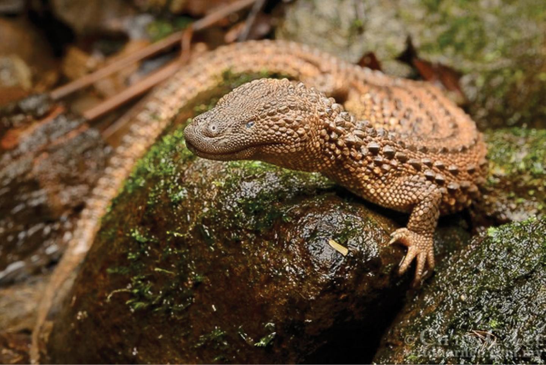 Earless monitor lizard